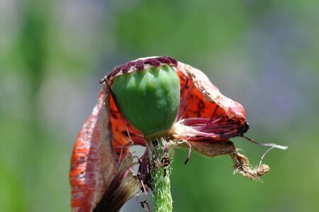 oriental poppy: oriental poppy
