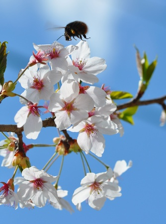 cherry blossoms Stock Photo - 17272064