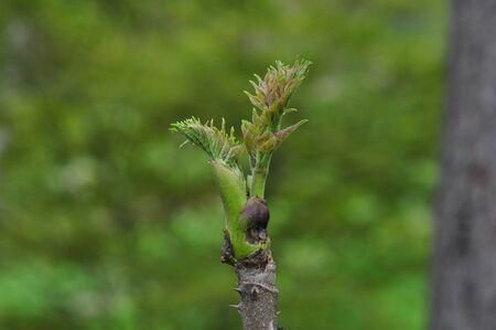 タラの芽 写真素材