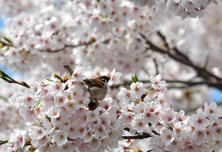 a sparrow and cherry blossoms photo