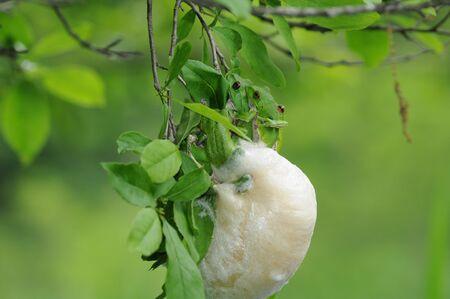 spawning: desove de Rhacophorus arboreus