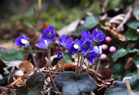 nobilis: hepatica nobilis Stock Photo