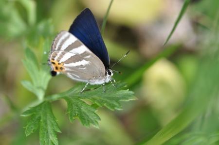 rapala: lycaenidae Stock Photo