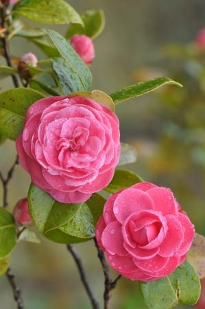 wet camellia  with rain