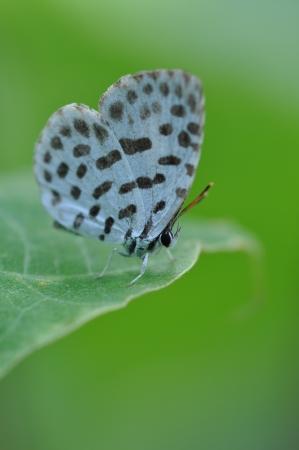 lycaenidae: butterfly