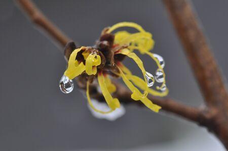 japonica: hamamelis japonica