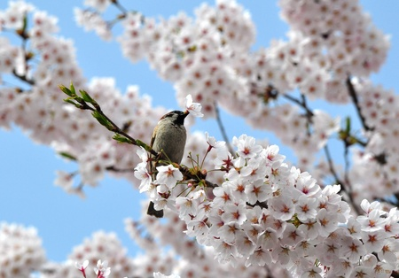 cherry blossom and  a sparrow Stock Photo - 18050216