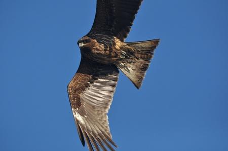 accipitridae: kite Stock Photo