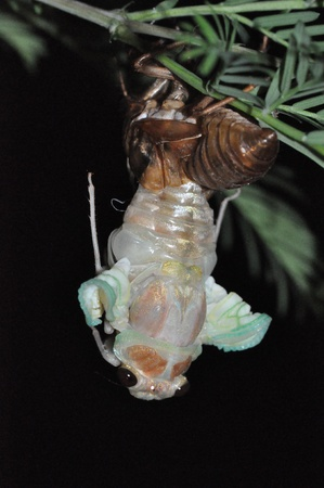 molting: cicada emergence