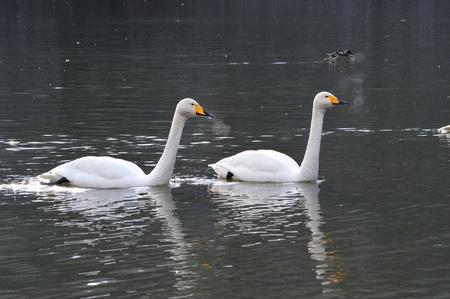 swans Stock Photo - 18665263