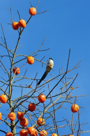 persimmon tree: persimmon tree and an azure-winged magpie Stock Photo