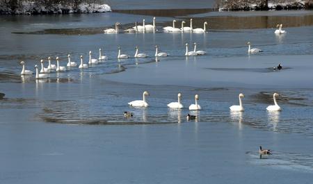 swans photo