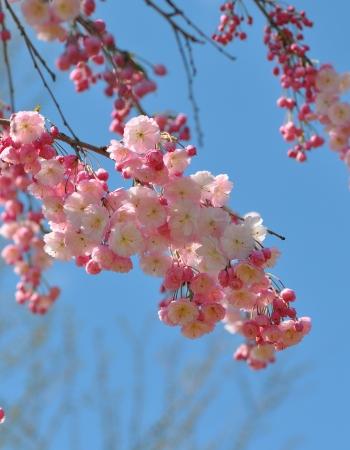 fleurs de cerisiers: cerisiers en fleurs