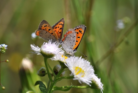 lycaena: courtship of lycaena phlaeas