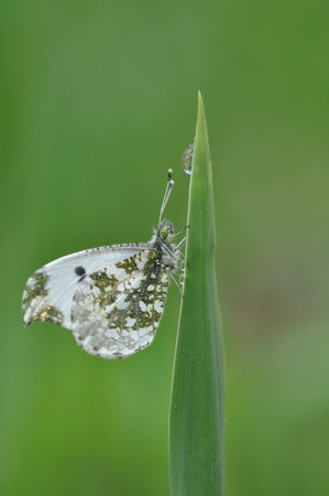 anthocharis: butterfly