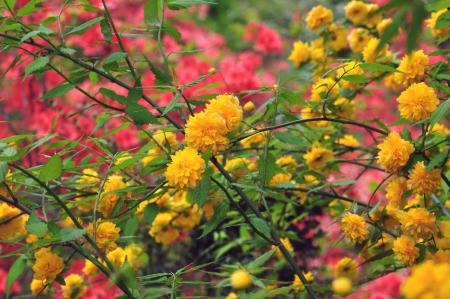 ericaceae: rododendro kaempferi