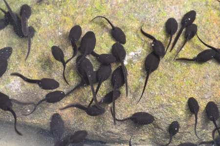 tadpoles Stock Photo