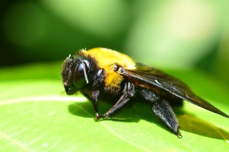 クマバチ属