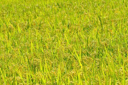 paddy field:  paddy field