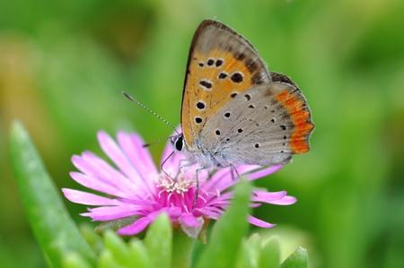 lycaena: lycaena phlaeas Stock Photo