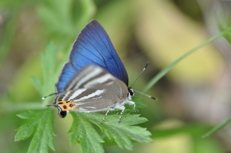 rapala: butterfly