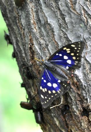 charonda: Sasakia charonda