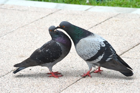 courting of pigeons Stock Photo