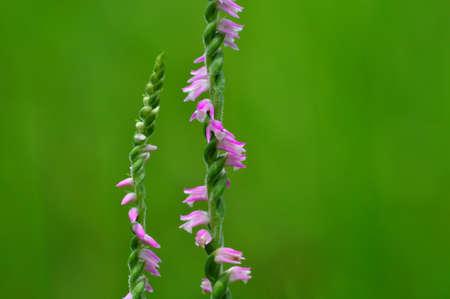 sinensis: spiranthes sinensis
