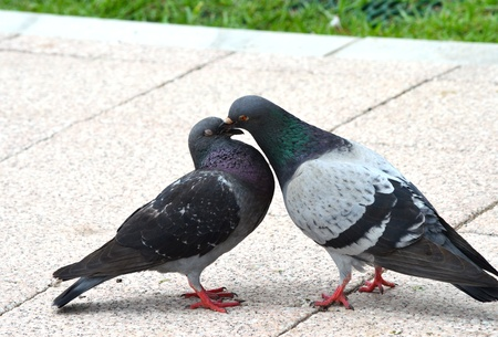courting of pigeons photo