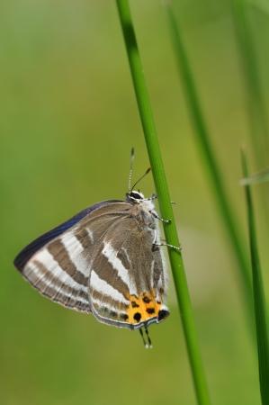 lycaenidae: lycaenidae Stock Photo