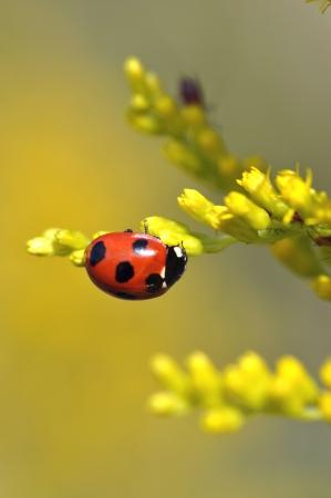 septempunctata: ladybird