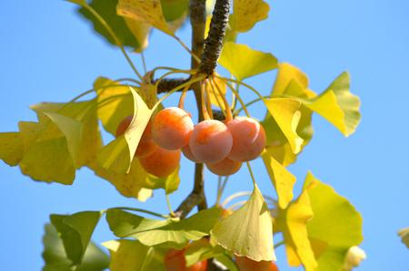 gingko: gingko nuts Stock Photo