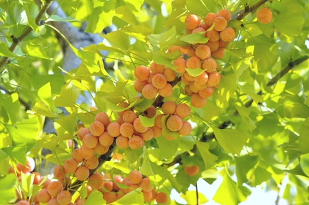gingko: gingko nuts Stock Photo