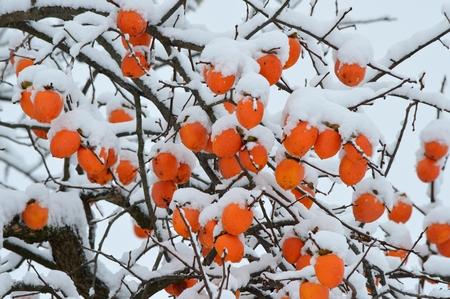 persimmon tree: persimmon tree