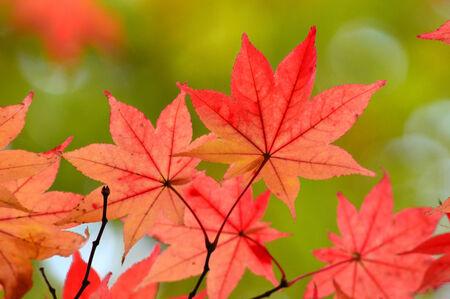 aceraceae: autumn leaves