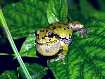 croak: japanese tree frog Stock Photo