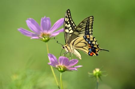 蝶とコスモス 写真素材