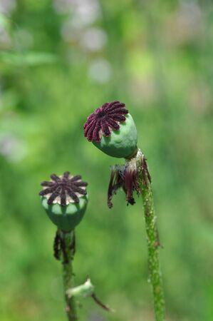 oriental poppy: seed of oriental poppy