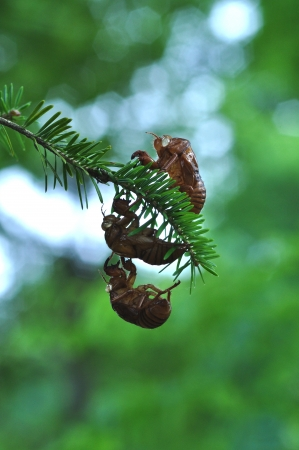 cast off: cicada