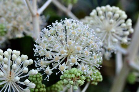 aralia: Fatsia japonica