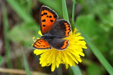 lycaenidae: lycaenidae butterfly