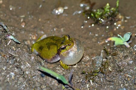 pus: Tree frog that without inflatable a niece sac Stock Photo