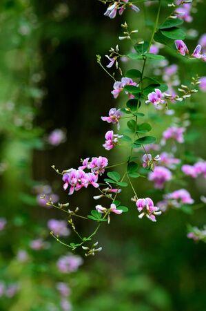 leguminosae: Hagi flowers