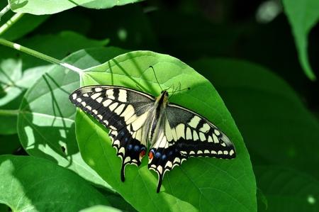 黄色いアゲハチョウ