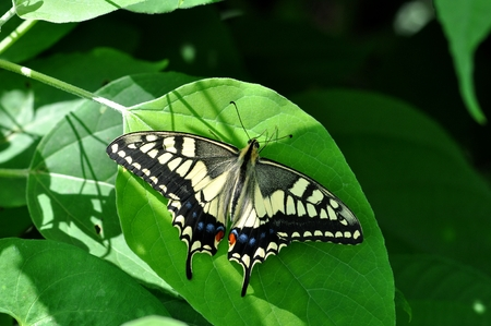 swallowtail: Yellow swallowtail butterfly