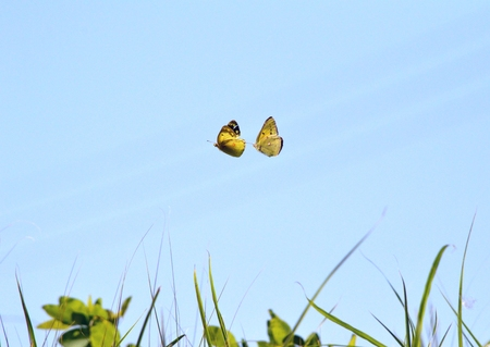 courtship: The courtship of butterfly