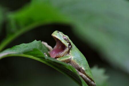 hyla: Frog Stock Photo