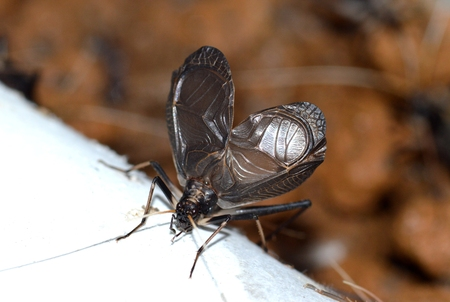 arthropod: Male singing cricket