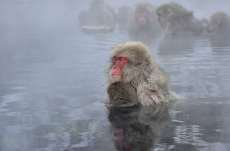 Hot Springs monkeys