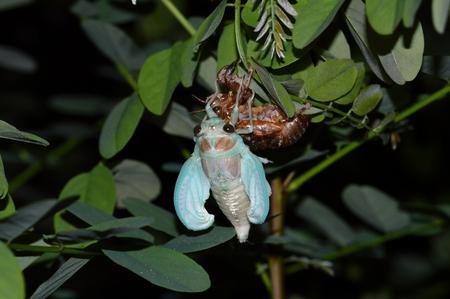 emergence: Cicada